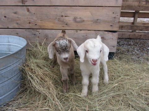 be green baby goats ridgeland 1